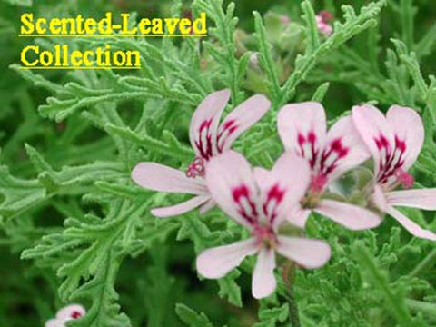 Scented-Leaved Collection