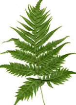 Woodwardia radicans (European Chain Fern)