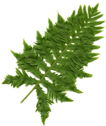 Polypodium (British)