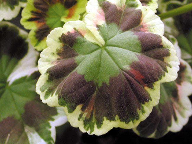 Variegated and Coloured-Leaved