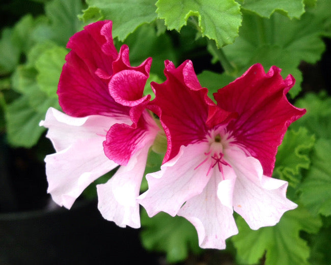 Pelargoniums Fibrex Nurseries Ltd