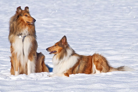 Rough Collie Temperament