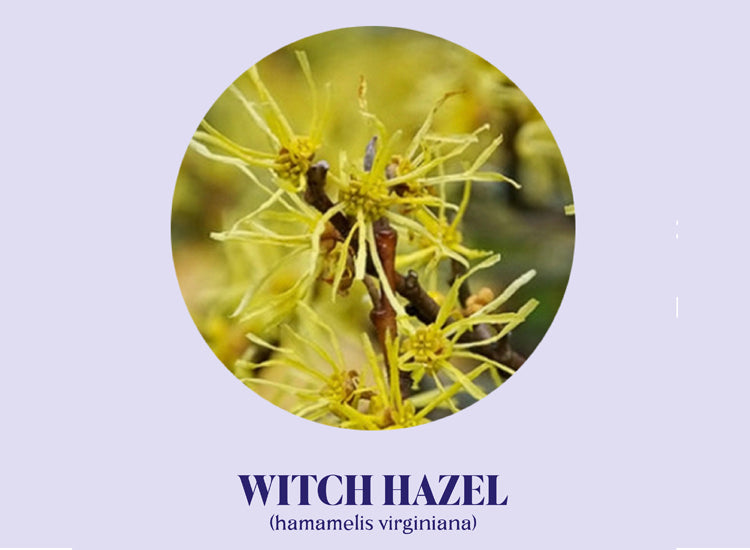 Ingredient Spotlight: Witch Hazel