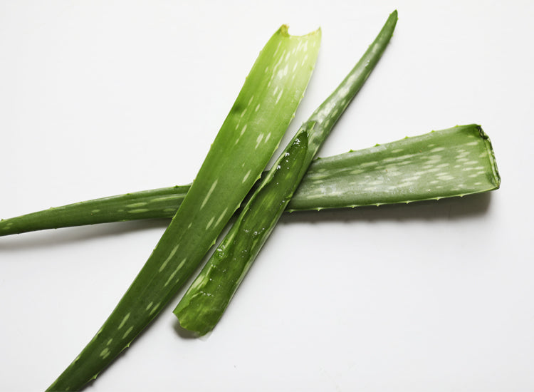 aloe vera the plant of immortality