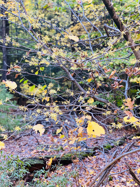 Witch Hazel in the woods of the Hudson Valley