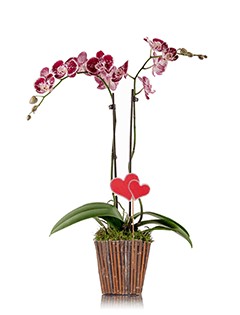Blooming Love Classic Orchid