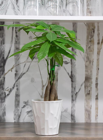 "5"" Money Tree in a White Pot"