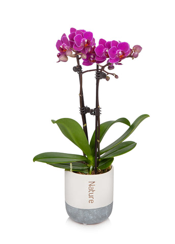 Petite Orchid in Cream/Grey Pot