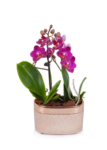 Mini Orchid Planter in Rose Gold Pot