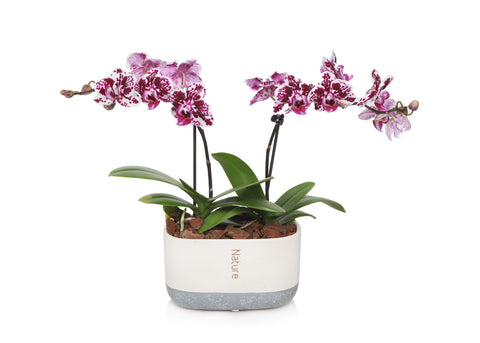 Mini Orchid Planter in Cream/Grey Pot