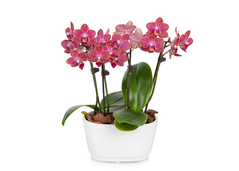 Mini Orchid Planter in White Pot