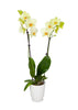 Premium Orchid in White Pot