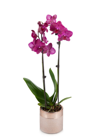 Premium Orchid in Rose Gold Pot