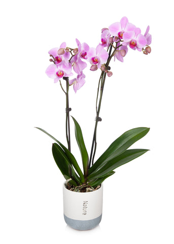 Premium Orchid in Cream/Grey Pot