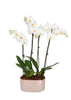 Premium Orchid in Rose Gold Planter