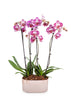 "10"" Classic Orchid in Rose Gold Planter"