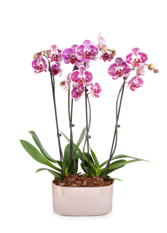 Premium orchids in a rose gold planter