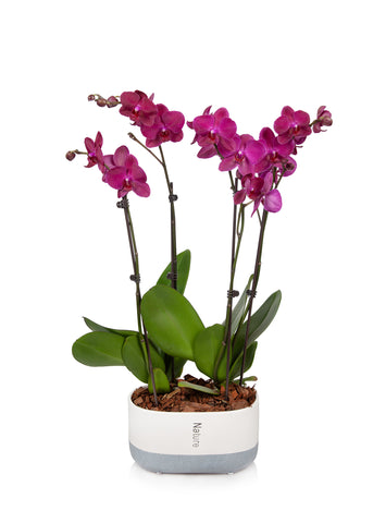 "10"" Premium Orchid in Cream/Grey Planter"