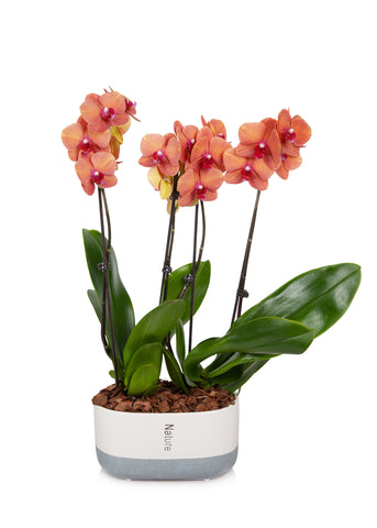 Premium Orchid in Cream/Grey Planter