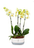 "10"" Classic Orchid in Cream/Grey Planter"