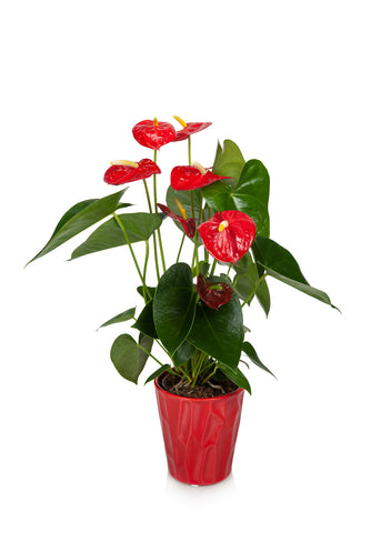 "5"" Red Anthurium Flamingo Flower in Red Pot"