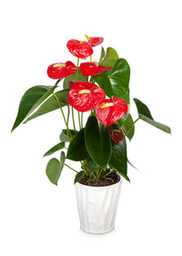 Premium Red Anthurium Flamingo Flower in White Pot