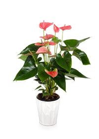 Premium Pink Anthurium Flamingo Flower in White Pot
