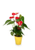 "5""  Anthurium Flamingo Flower in Yellow Pot"