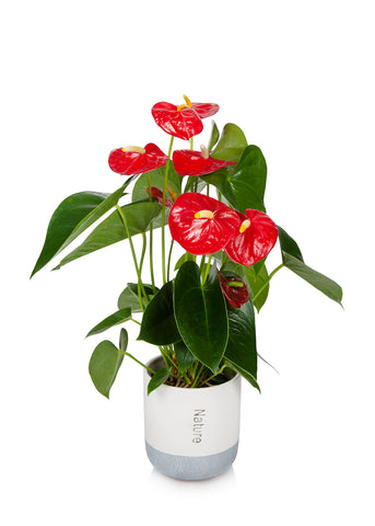 "5"" Red Anthurium Flamingo Flower in Cream/Grey Pot"