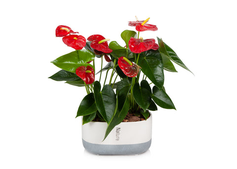 "10"" Red Anthurium Flamingo Flower in Cream/Grey Pot"