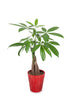 "5"" Money Tree in a Red Pot"