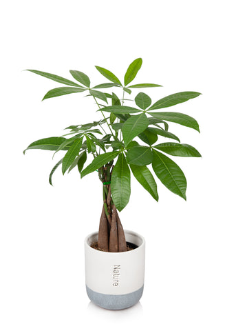 "5"" Money Tree in a Cream/Grey Pot"