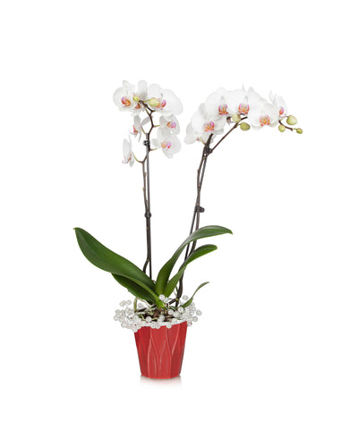 Pearl Classic Orchid
