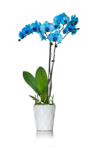Electric Blue Watercolor™ Orchid
