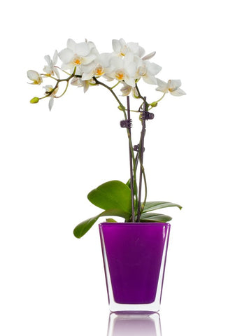 Violet Royalty Mini Orchid