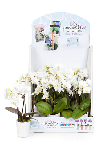 All White Mini Orchid Party Pack (12 Pack)