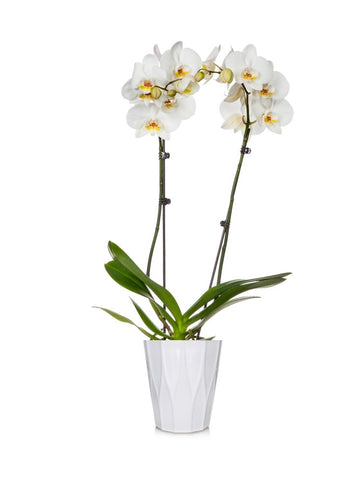 Classic White Orchid