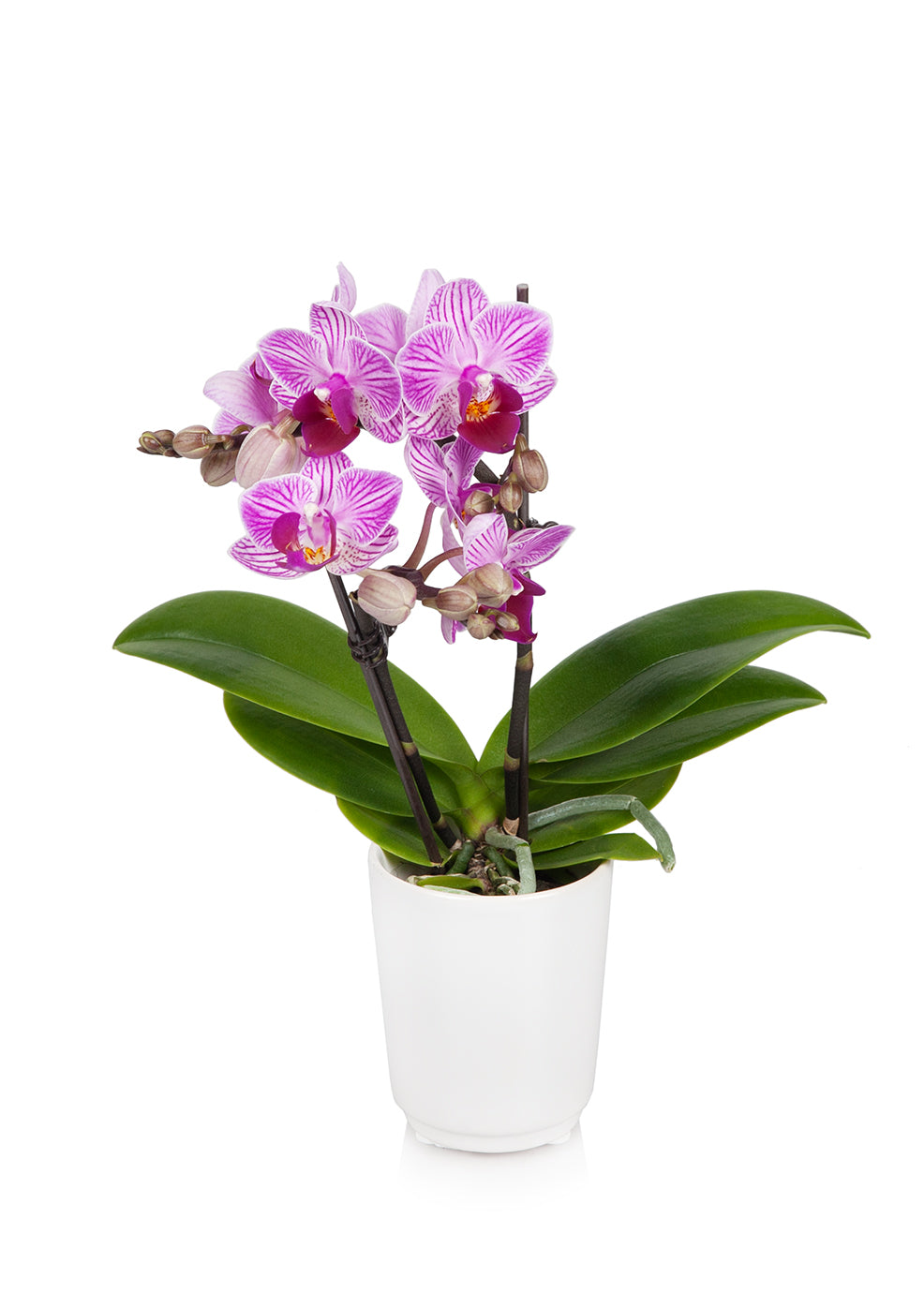 Mini Orchid In White Pot Just Add Ice