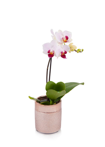 Mini Orchid in Rose Gold Pot