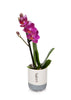Mini Orchid in Cream/Grey Pot