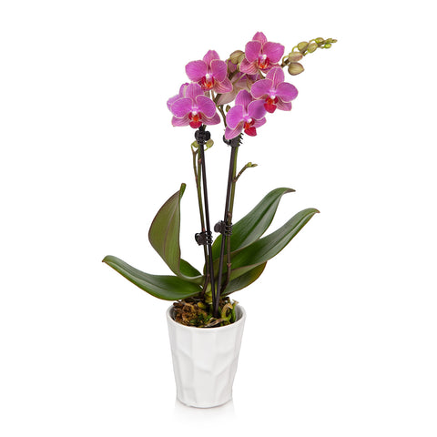 Petite Orchid in White Pot