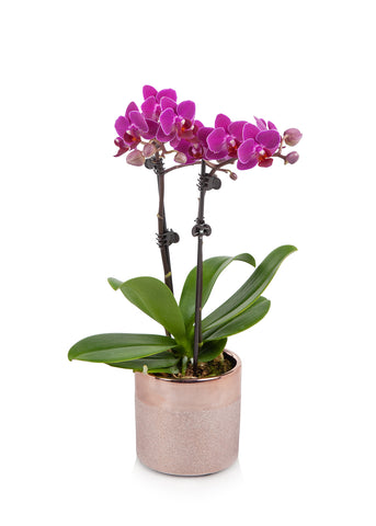 Petite Orchid in Rose Gold Pot