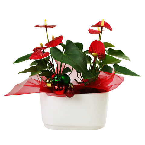 Anthurium Duo with Christmas Bulbs