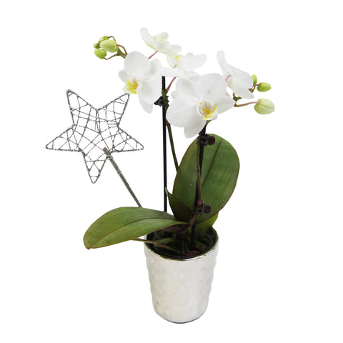 Mini Orchid with Star Pick