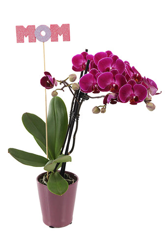 Lucas 'Mom' Petite Mother's Day Orchid