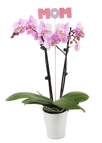 Lucas 'With Mom' Petite Mother's Day Orchid (White Pot)