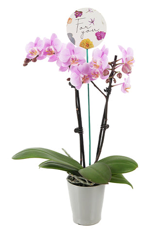 Lucas 'For You' Petite Mother's Day Orchid (White Pot)