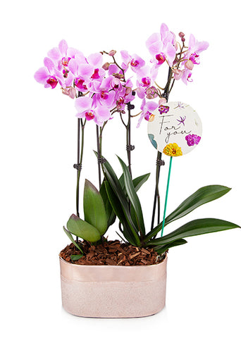 Audrey 'For You' Premium Mother's Day Orchid Planter