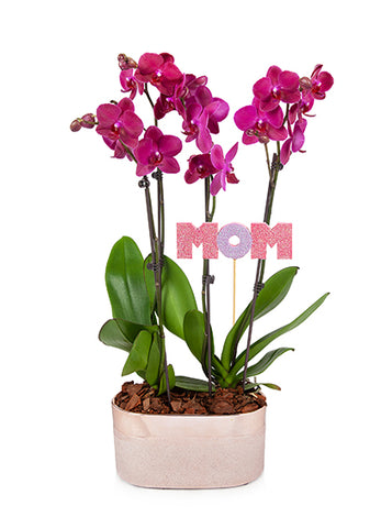 Audrey 'Mom' Premium Mother's Day Orchid Planter