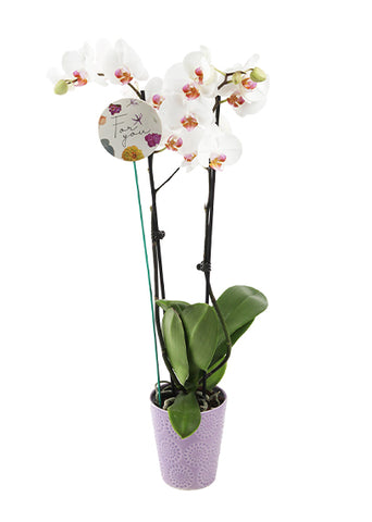 Fiona 'For You' Premium Mother's Day Orchid